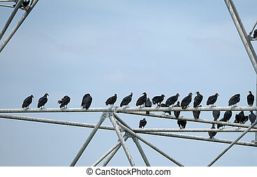 Black vultures are perching in the video tower