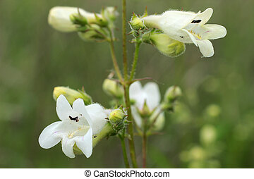 White wildflower: Smooth Beard-Tongue Penstemon digitalis -...