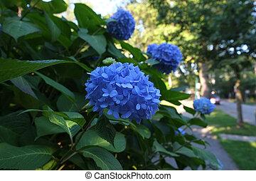 Blue hydrangea blossoms - Blue hydrangea in full bloom in a...