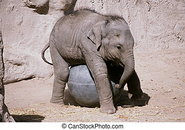 Elephant Calf Playing With A Ball - Capture of an elephant...