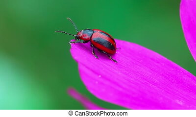 Red and black beetle.