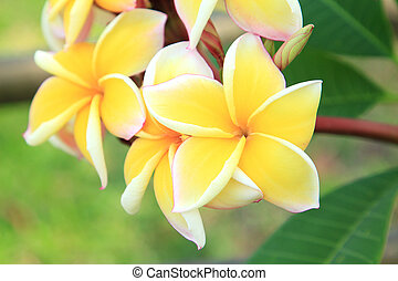 Yellow plumeria flowers