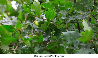 Oak tree. - Oak branch with leaves and acorns.