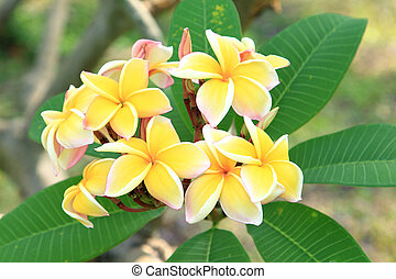 Yellow plumeria flowers