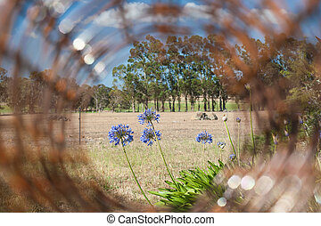 Insight - Agapanthus flowers and background farmland through...
