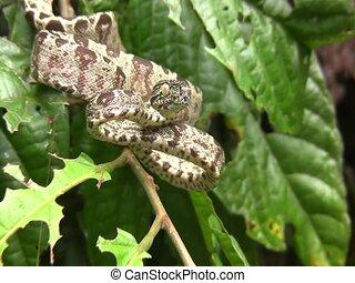 Amazon tree boa Corallus hortulanus - In the Ecuadorian...