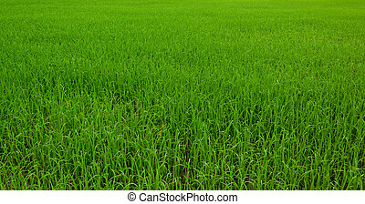 Green field, Asia paddy field