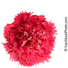 crimson carnation flower - single crimson carnation isolated...