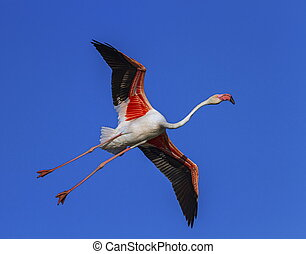 Greater flamingo, phoenicopterus roseus, Camargue, France -...