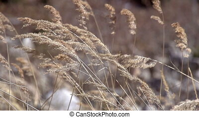 Branches of Reeds in the Wind - Branch dry reed wind rustles