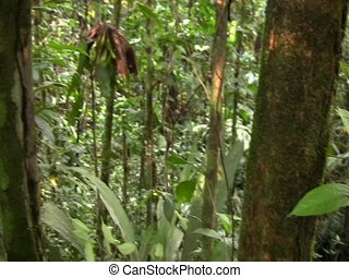 Curare vine (Chondrodendron tomentosum) - Source of Curare,...