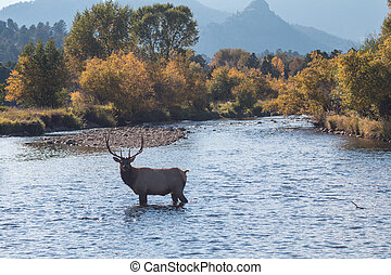 Bull Elk in Stream - a bull elk crossing a stream during the...
