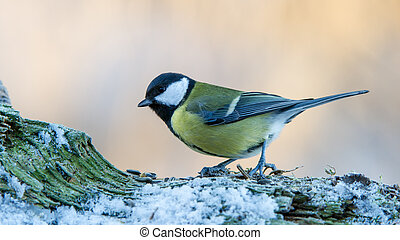 Great Tit on Snow - Great Tit (Parus major) on the snowy...