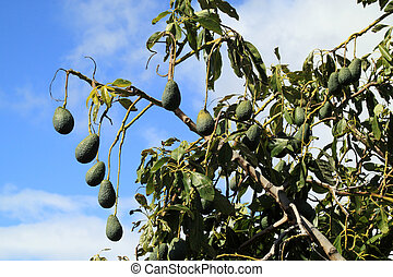 The avocado tree with fruits