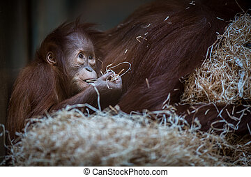 Stare of an orangutan baby, hanging on thick rope A little...