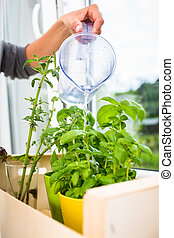 Watering the kitchen herbs - Young woman pouring fresh water