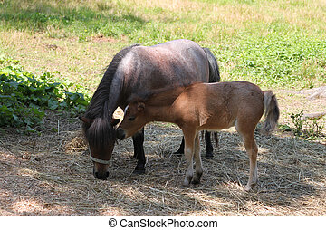 Mom and foal miniature horse - Baby miniature foal sticks...