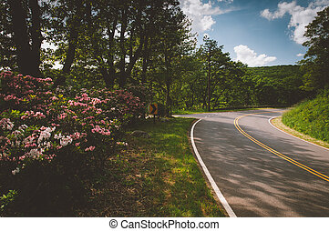 Mountain laurel along Skyline Drive on a spring day in...
