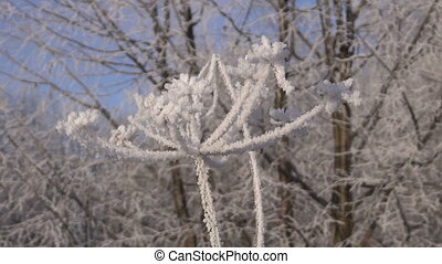 beautiful hoarfrost rime in winter time plant and wind