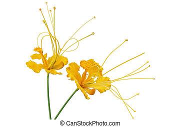 caesalpinia pulcherrima flower - Yellow caesalpinia...