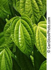 Piper Betle - Beautiful fresh Betel Leaf Piper Betle natural...