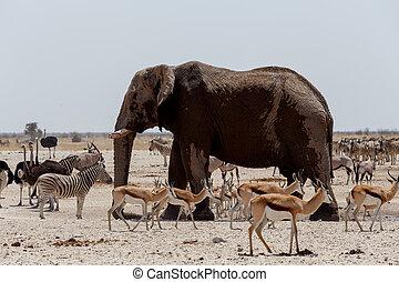 Animal trafic on muddy waterhole in Etosha - African...