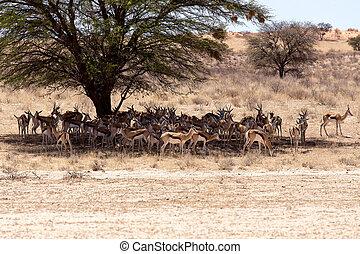 manada, de, Springbok, paliza, debajo, Un, grande, Acacia,