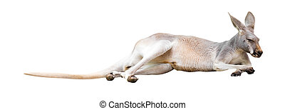 Red kangaroo. Isolated on white background