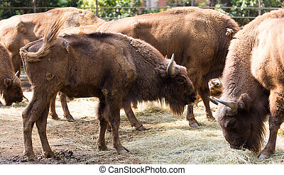 herd of european bisons Bison bonasus