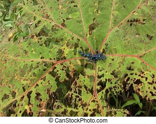 Leaf beetles (Chrysomelidae)