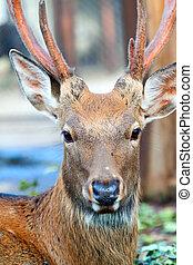 Head of Sika deer - Head of Sika deer (Cervus nippon) on...