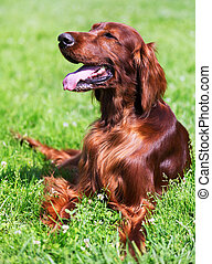 Irish Setter lying on   grass  in sunny day