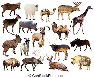 Set of Artiodactyla mammal animals over white background