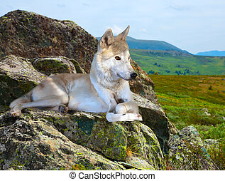 White wolf lays on stone in wildness - White wolf lays on...