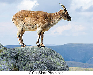 Standing barbary sheep in wildness area - Standing barbary...