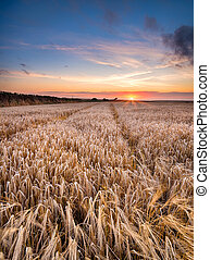 Barley Field in the Cornish Countryside - A barley field at...
