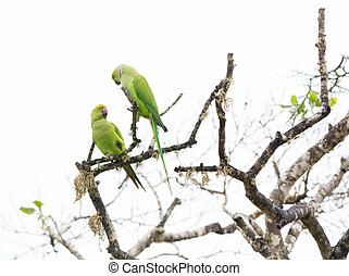 Two Rose Ringed Parakeet, Psittacula krameri, Yala National...