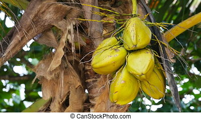 Coconuts In The Wind - Some coconuts on a palm tree in the...