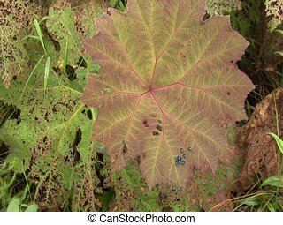 Leaf beetles Chrysomelidae - defoilating a Gunnera plant In...