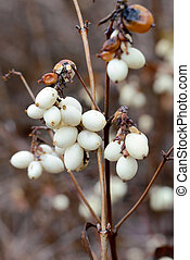 Snowberry Fruit in Winter - Macro of white snowberry fruits...