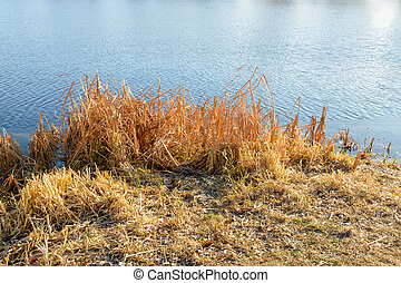 Dry Reeds on the Lake - Dry bulrush on the iced lake during...