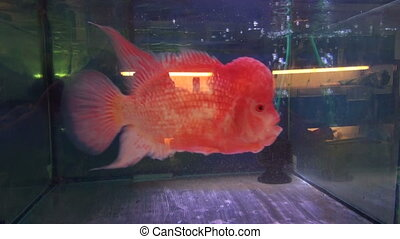 Tropical decorative beautiful fish swimming in lighted...