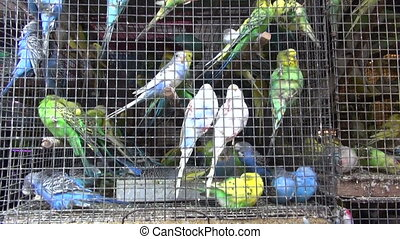 Cage with budgerigars asia market