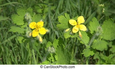 blossoming Greater celandine plant - blossoming Greater...