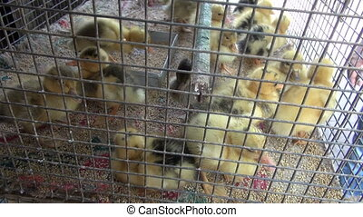 yellow ducklings in metal cage - group little yellow...