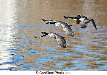Three Canada Geese Flying Over the Lake