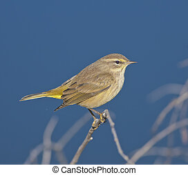 florida birds - Palm Warbler sitting pretty. Latin name -...