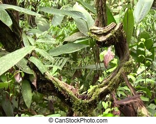 Liana in tropical rainforest, Ecuador - In the Ecuadorian...