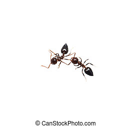 hormiga, en, Un, blanco, fondo., macro,