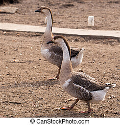 geese in the nature